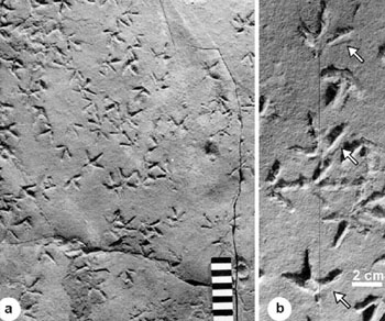 Late Triassic bird trackways